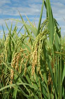 arroz-1-765.jpg