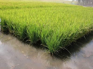 arroz-2-886.jpg